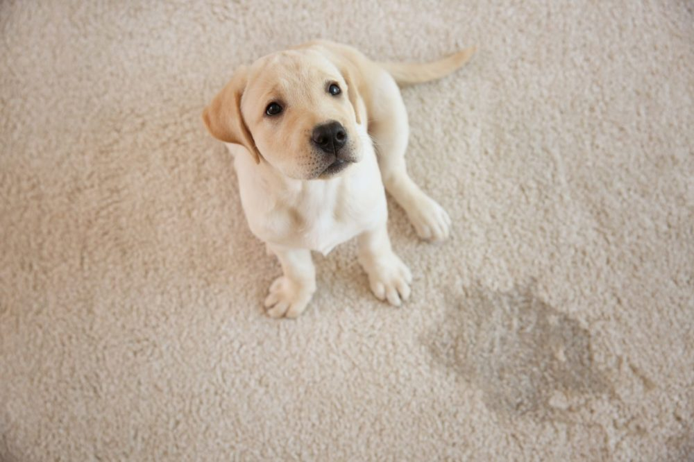 How Can I Stop My Pet Urinating In My Home In the Future